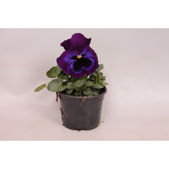 <h4>Viola wittrockiana F1 Neon Violet</h4>