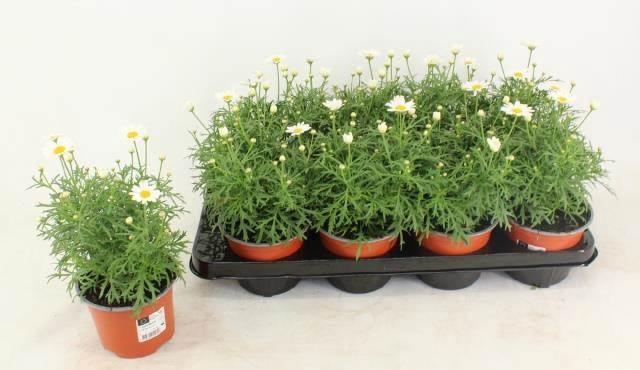 <h4>Argyranthemum La Rita White</h4>