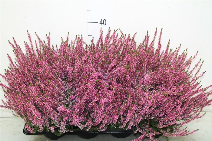<h4>Calluna G Girls Roze</h4>