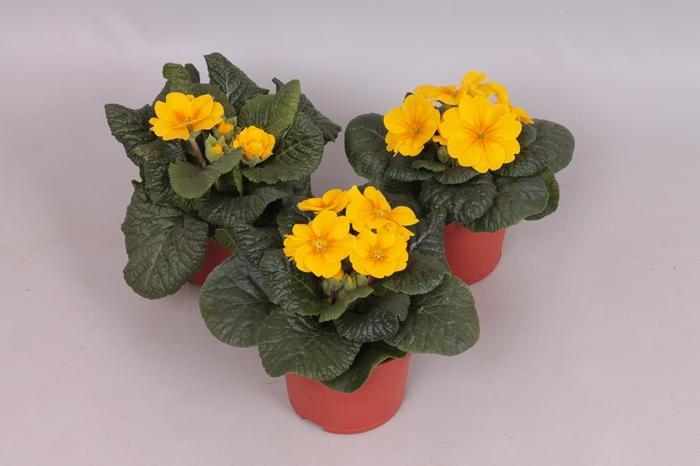 <h4>Primula acaulis Geel</h4>