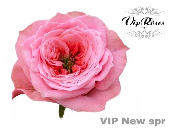 R GR VIP NEW SPR