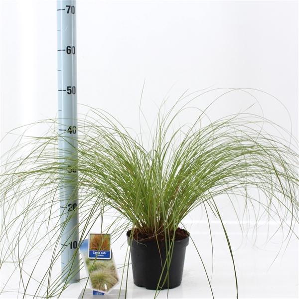 <h4>Carex testacea 'Prairie Fire'</h4>