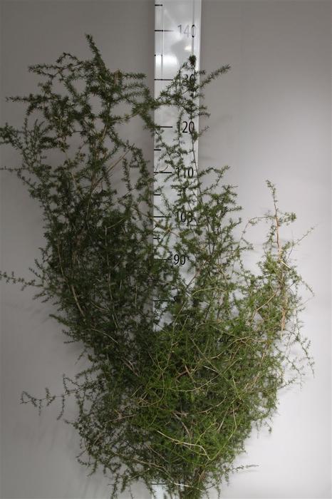 <h4>Asparagus Wild</h4>
