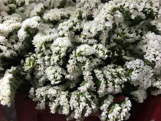 Limonium White (Statice)