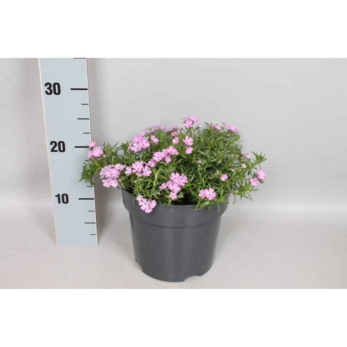 <h4>vaste planten 19 cm  Phlox Subulata Rose</h4>