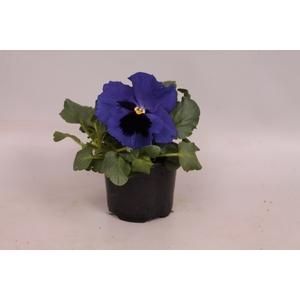 Viola wittrockiana F1 Blue Blotch