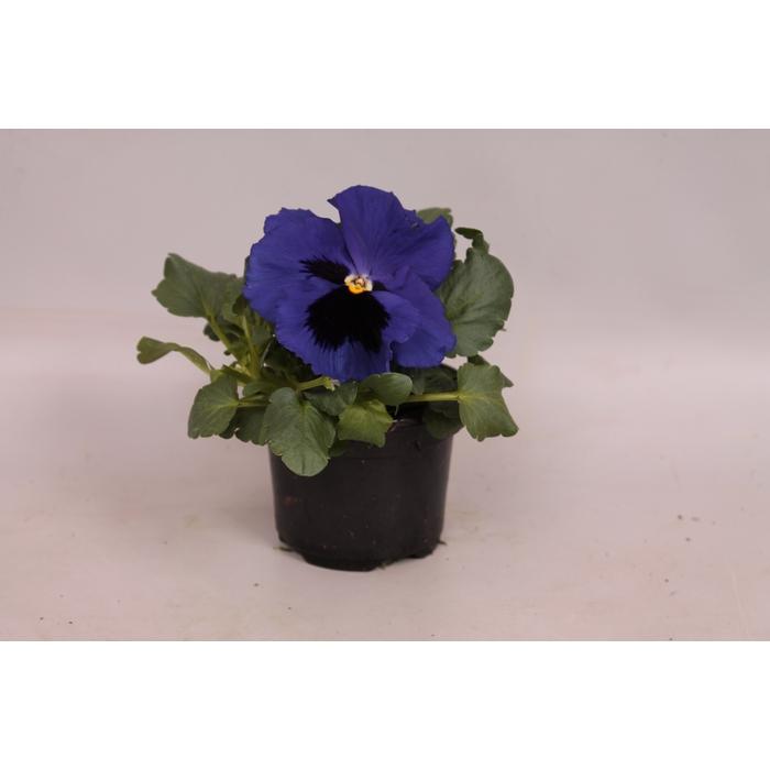 <h4>Viola sixpack F1 Deep Blue</h4>