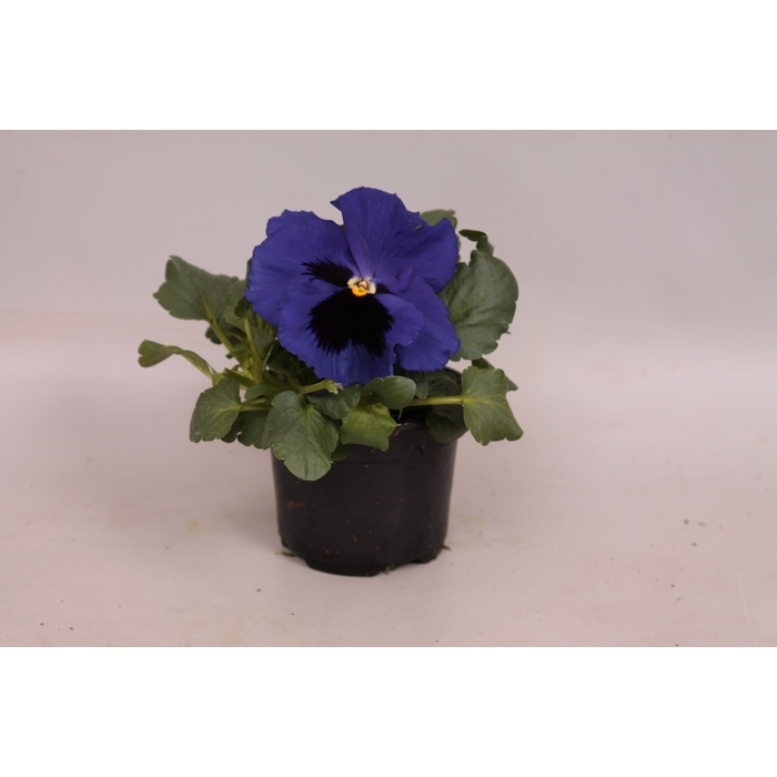 <h4>Viola wittrockiana F1 Deep Blue</h4>