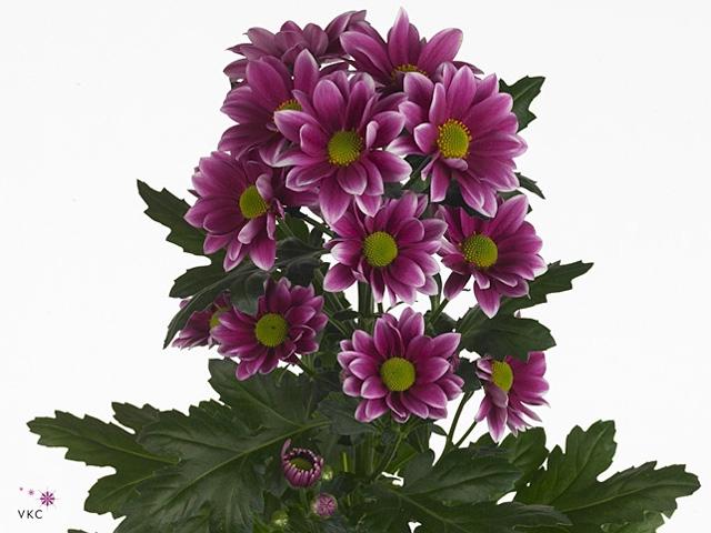 <h4>Chrysanthemum spray Amethyst dark</h4>