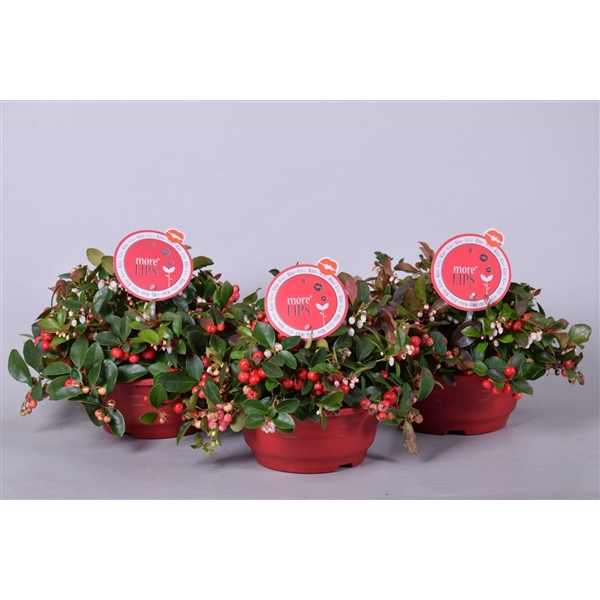 <h4>MoreLIPS® Gaultheria Big Berry in schaal, P19</h4>