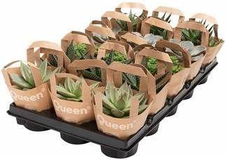 <h4>Succulenten gemengd 5 soorten</h4>