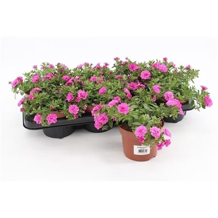 <h4>Calib Mi Rosies Rose</h4>