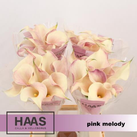<h4>ZANT PINK MELODY</h4>