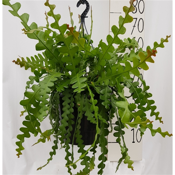 <h4>Epiphyllum anguliger</h4>