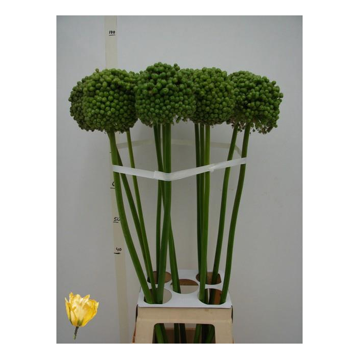 <h4>ALLIUM BA GREEN CRAZ</h4>
