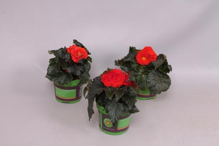 <h4>Begonia Tub. Nonstop oranje fiery red</h4>