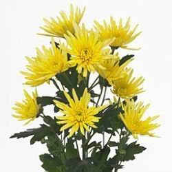 <h4>Chrysanthemum spray spider amarilla</h4>