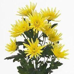 Chrysanthemum spray spider amarilla
