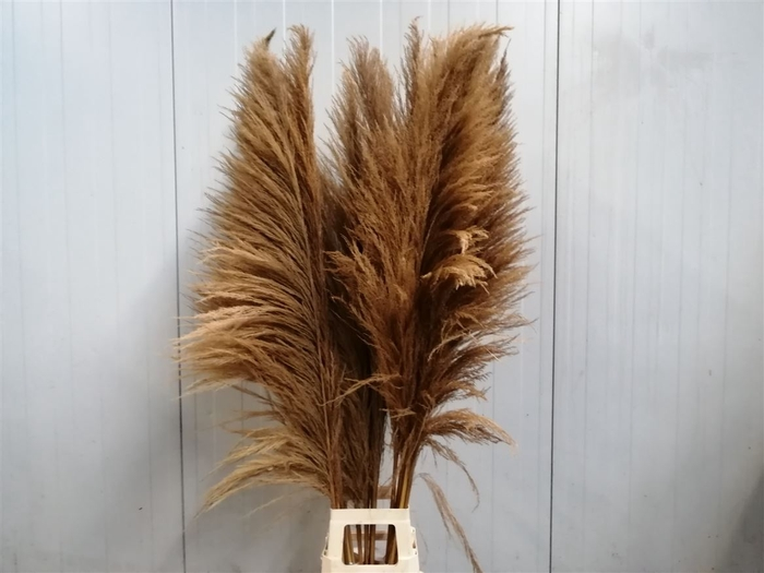 <h4>Corta Dried X X L Natural Brown P St</h4>