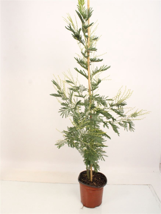 <h4>Acacia Mimosa Daelbata Silver On Stick</h4>