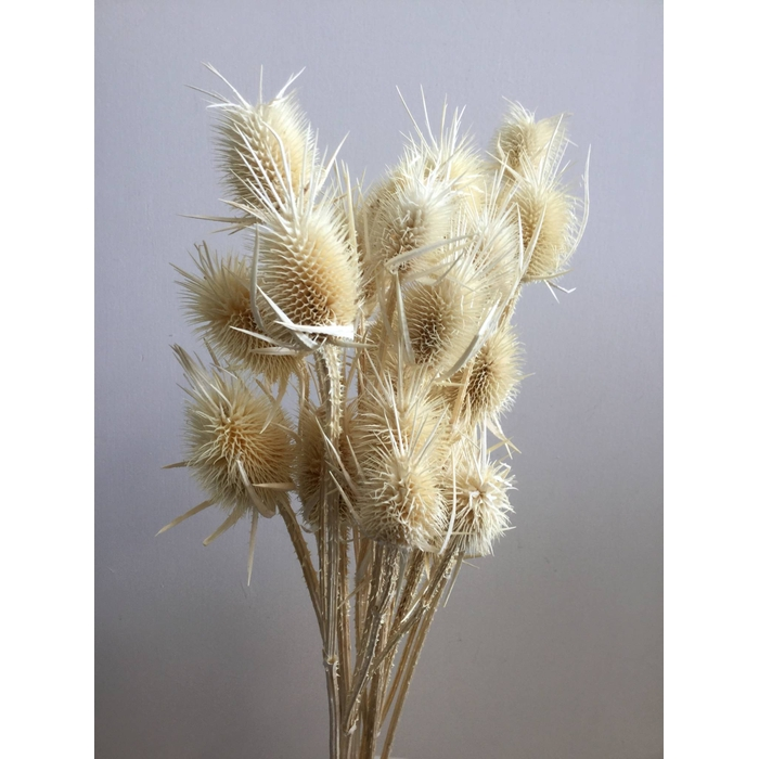 <h4>DRIED FLOWERS - CHARDON BLEACHED</h4>