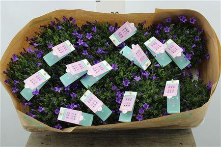 <h4>Campanula Ambella Purple</h4>