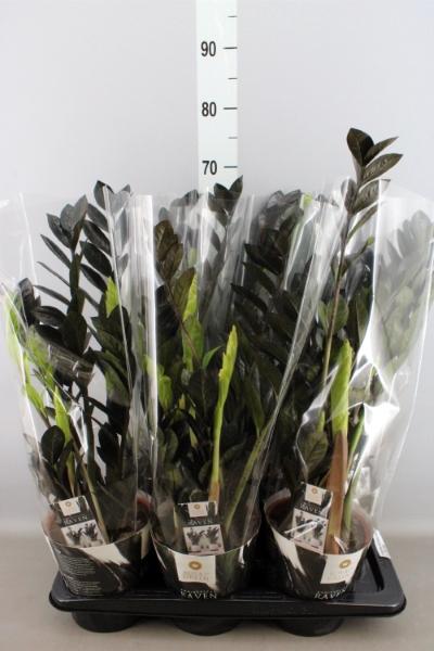 <h4>Zamioculcas zamiifolia 'Dowon'</h4>
