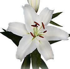 Lilium Oriental White 2 buds