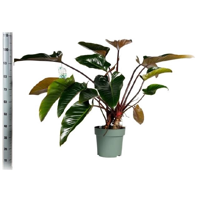 <h4>Philodendron Green Beauty 30Ø 110cm</h4>