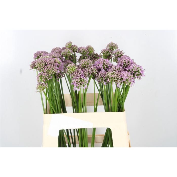 <h4>Allium Jasmine Bos</h4>