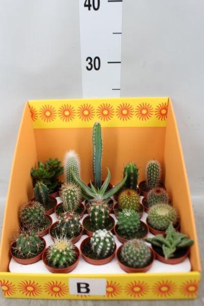 <h4>Cactus   ...mix 18</h4>