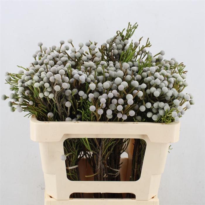 <h4>Brunia Noduliflora (spray Brunia)</h4>