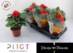 <h4>Begonia doble Baladin</h4>