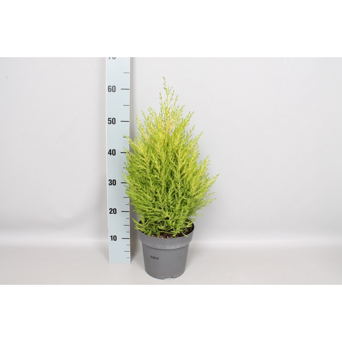 <h4>Cupressus Goldcrest 'Wilma' 19 cm</h4>