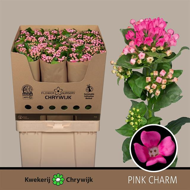 <h4>Bouvardia Pink Charm</h4>