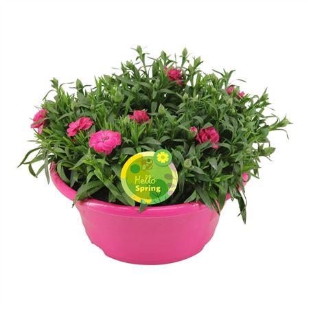 <h4>Hello Spring Dianthus Oscar In Schaal Roze</h4>
