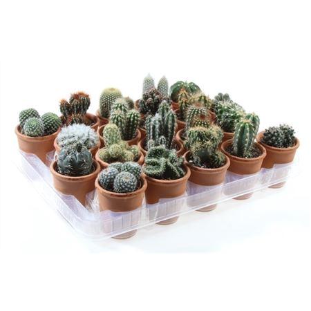 <h4>Cactus Gemengd Rozenpot</h4>