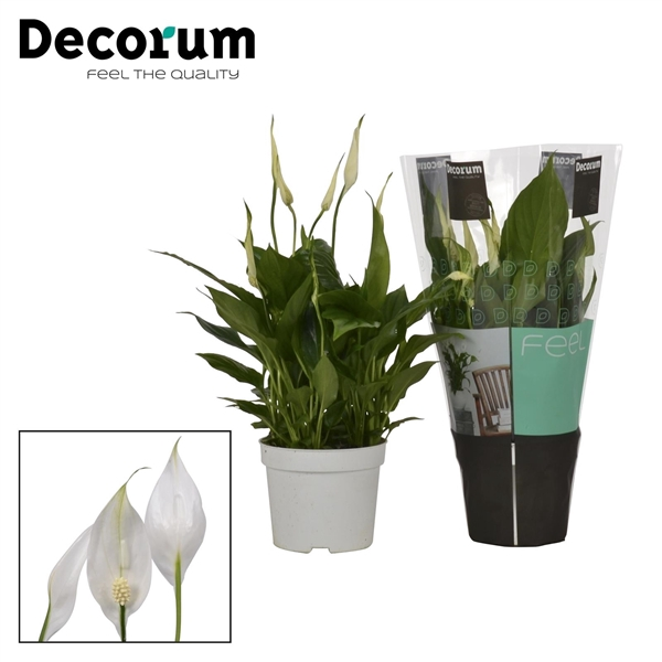 <h4>Spathiphyllum Bellini</h4>