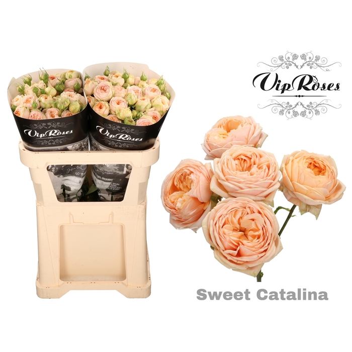 <h4>R TR SWEET CATALINA</h4>