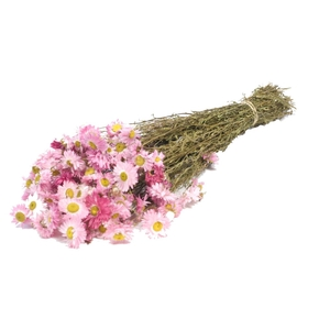 Acroclinium pink naturel