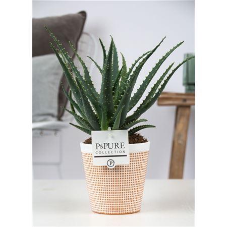 <h4>Aloe Arborescens Keramiek Terracotta Ii</h4>