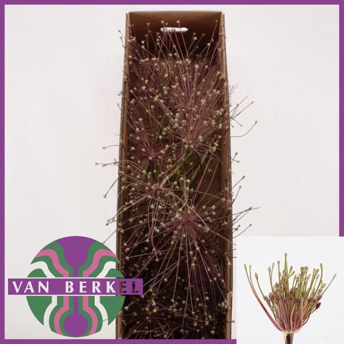 <h4>Allium Schubertii Zaad</h4>