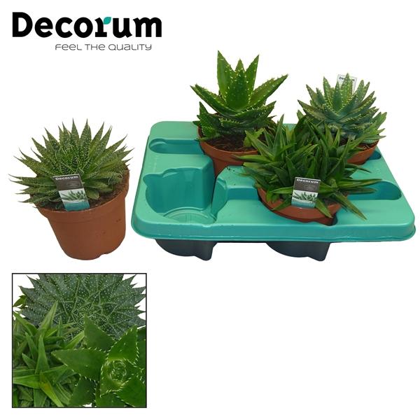 <h4>Aloe mix 4 soorten (Decorum)</h4>