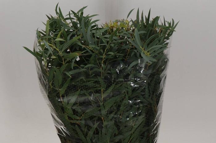 <h4>Eucalyptus Dominichina (P. Bos)</h4>