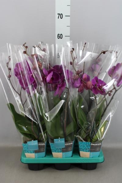 <h4>Phalaenopsis  'Wave Purple'</h4>