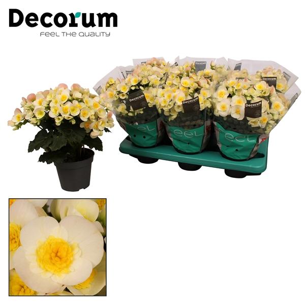 <h4>Begonia ''valentino white'' Decorum</h4>