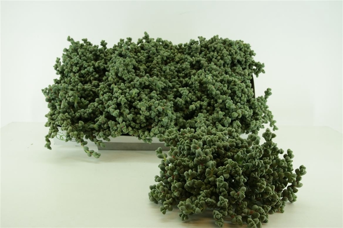 <h4>Gibbaeum</h4>