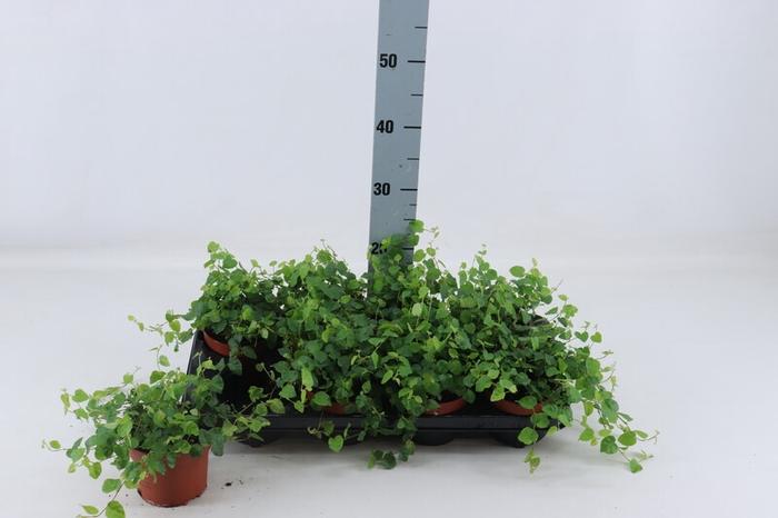 <h4>Ficus pu Green Sunny</h4>