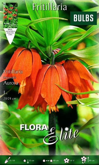 Z Fritillaria Aurora