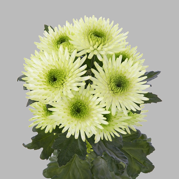 Chrysanthemum spray cocoon blanca